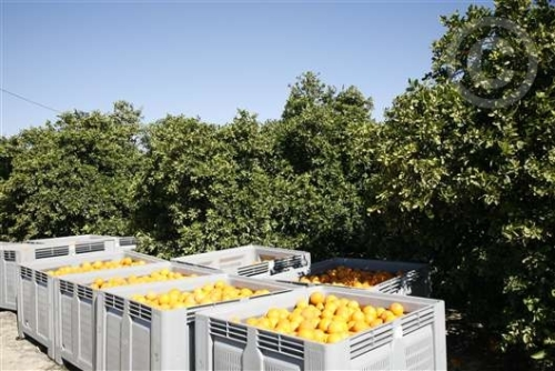 Limones en contenedores