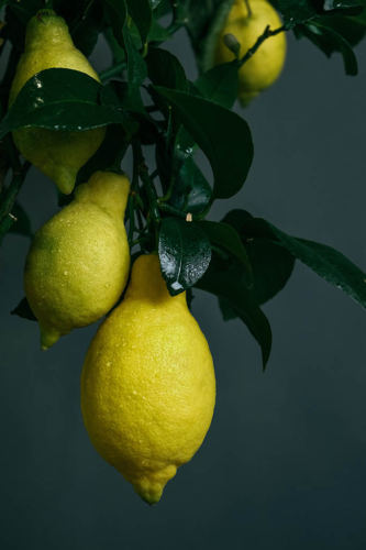 Limones en rama